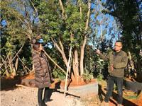 云南大理张欧:专注单品乡土树种 致力打造精品苗木