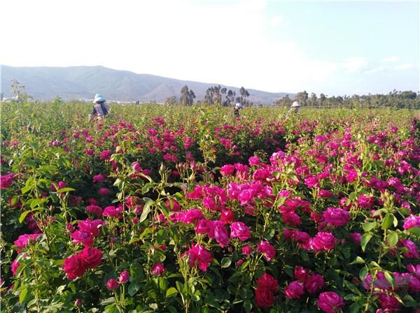 安宁八街:万亩食用玫瑰进入盛花期 日均万人徜徉花海赏花忙