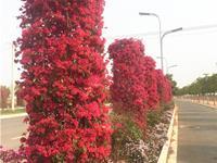 昆明宜良:三角梅竞相绽放街头美景如画