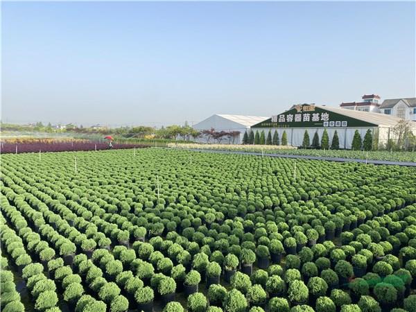 虹越创造苗木销售奇迹:180亩苗圃五个月苗木销售900万元