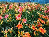 中国(上海)萱草文化节将办 同期召开萱草文化、育种与应用研讨会